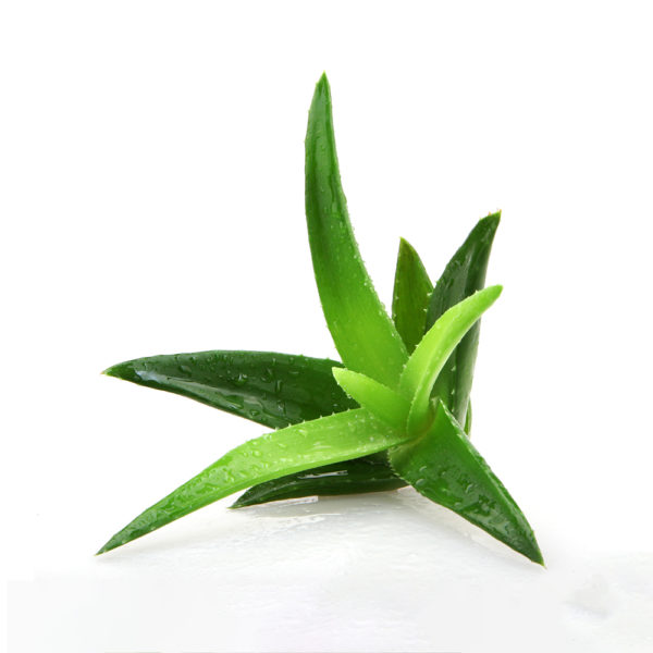 Aloe vera dry leaf herbal supplement