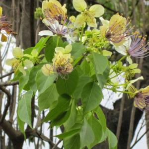 Crataeva nurvala (Varuna) Herbal Supplement