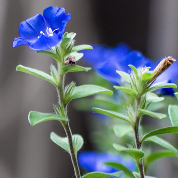 Evolulus alsinoides (Shankhapushpi) herbal supplement