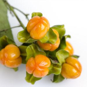 Jyotishmati (celastrus paniculatus) herbal supplements