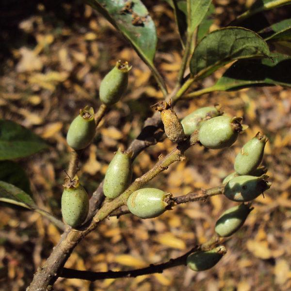 Lodh Tree herbal supplement
