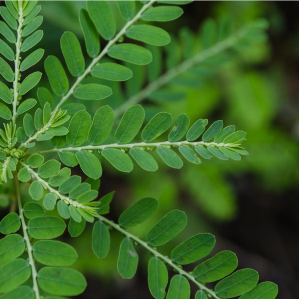 Phyllanthus herbal supplements