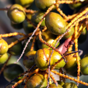 Saw Palmetto Herbal Supplement