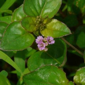 punarnava Boerhavia diffusa herbal supplement